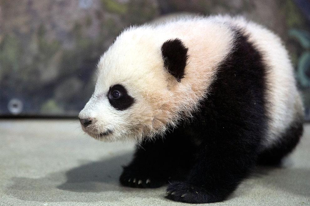 4.5-месячная большая панда в зоопарке Вашингтона, округ Колумбия