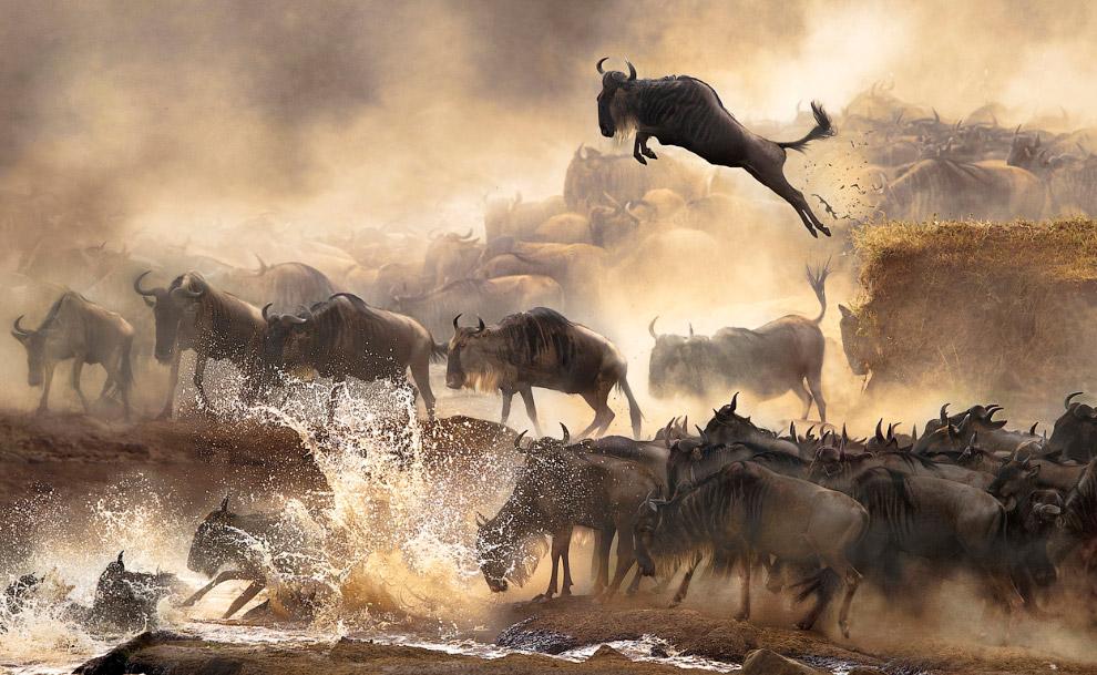 Миграция антилоп гну в Кении