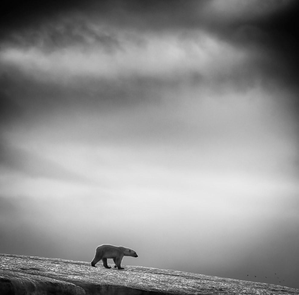 Медведь на архипелаге Свальбард, Норвегия