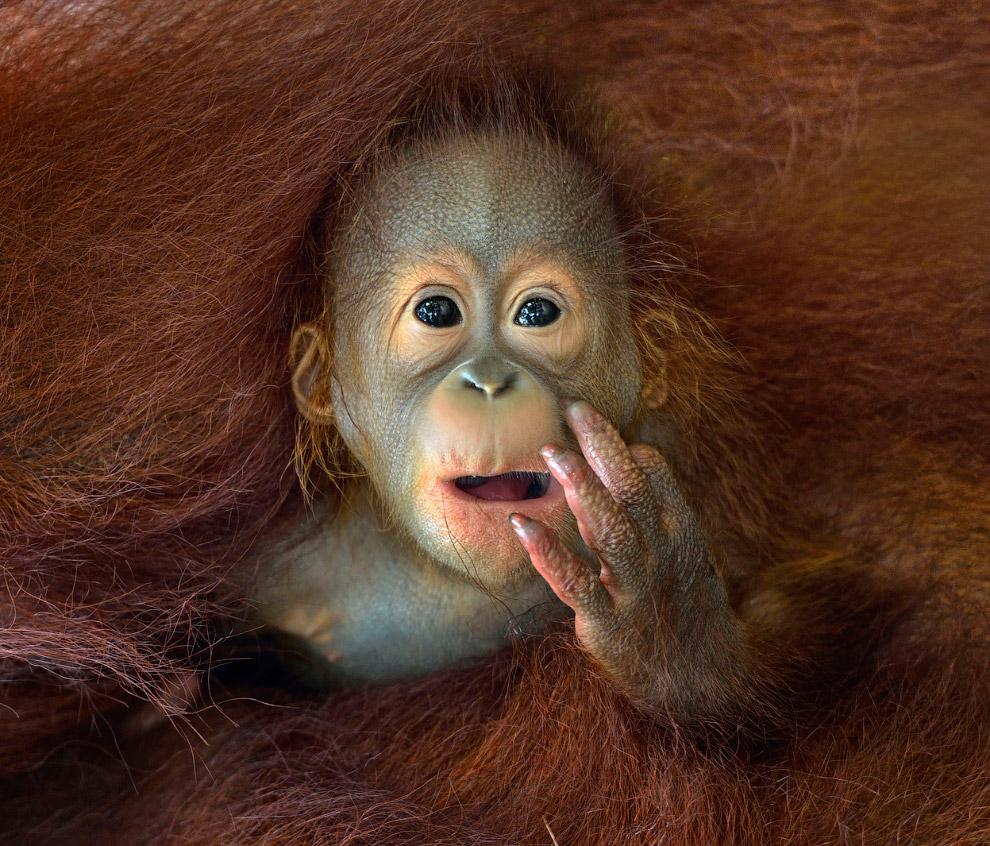 Малыш на руках у мамы-орангутанга