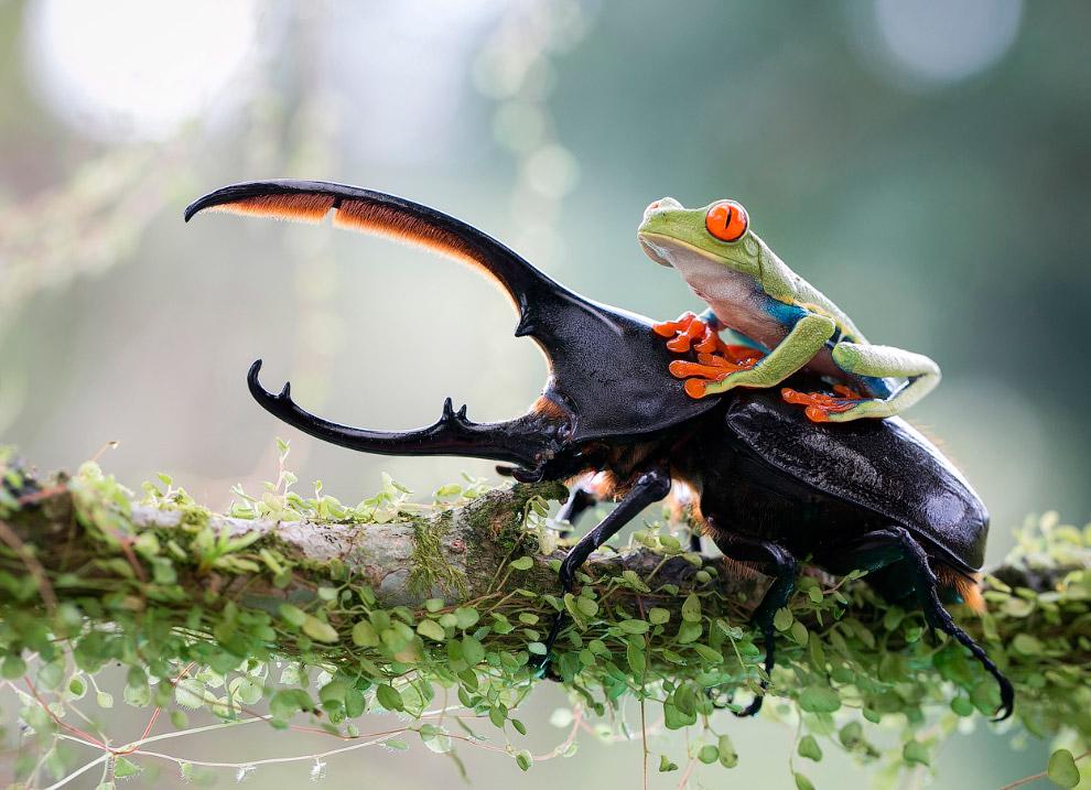 Рыцарь и его конь, Коста-Рика