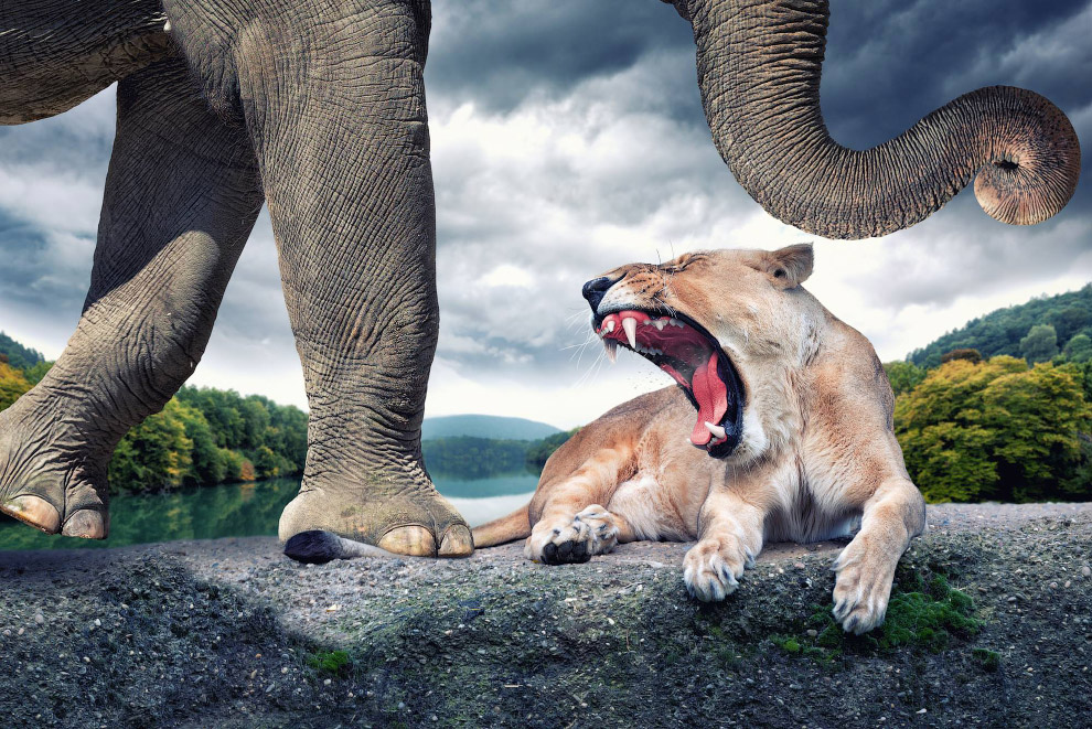 Слон, наступающий на хвост львице