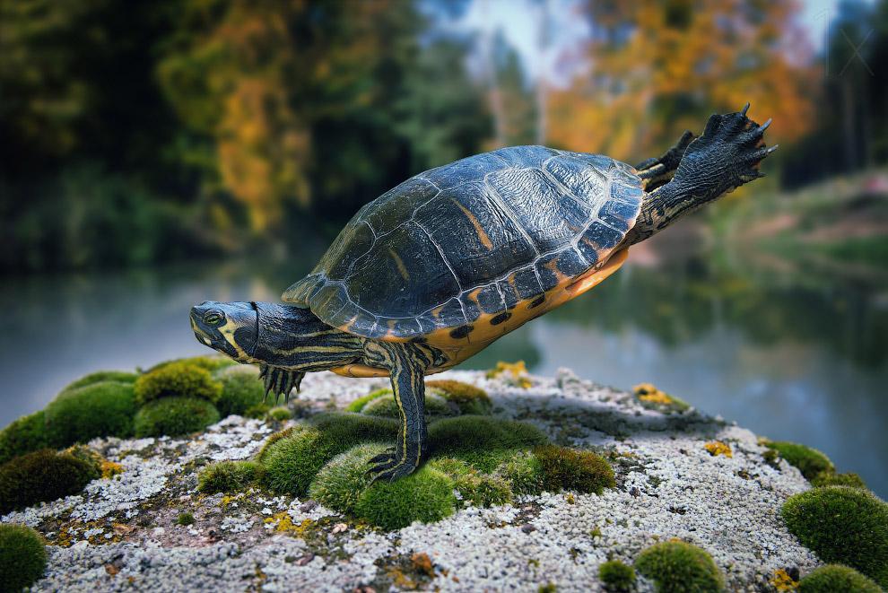 Отжимающаяся на одной лапе черепаха