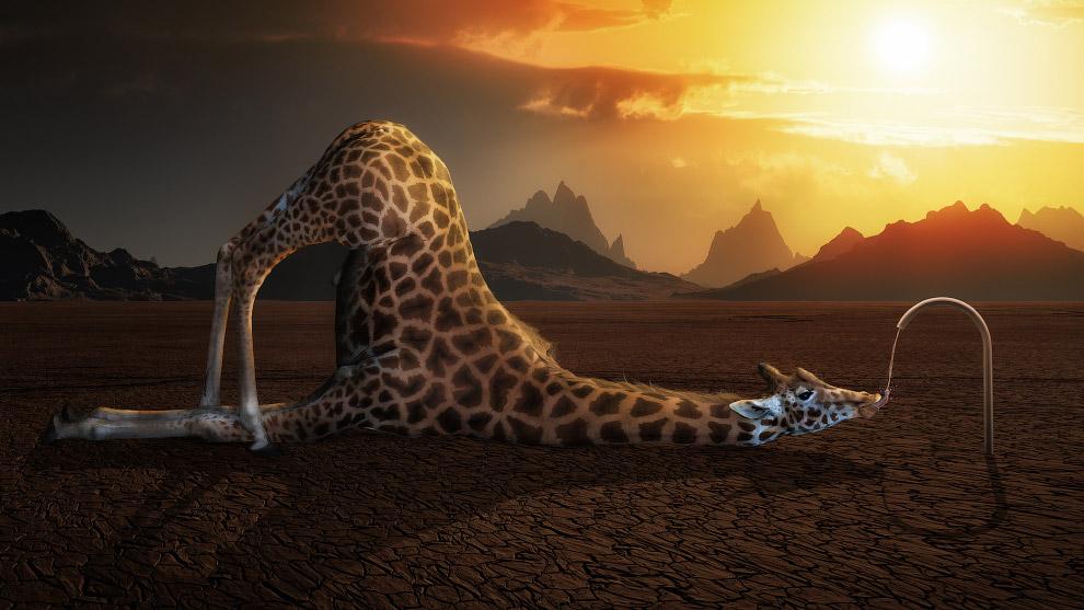 Жираф на водопое