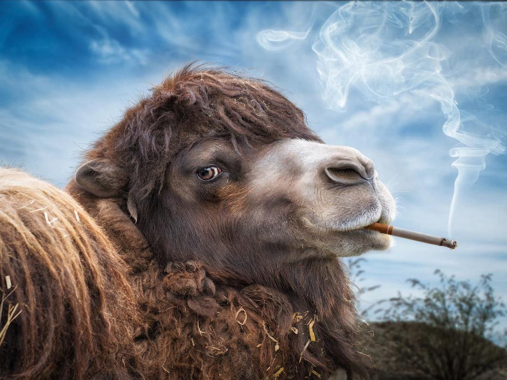 Курящий верблюд