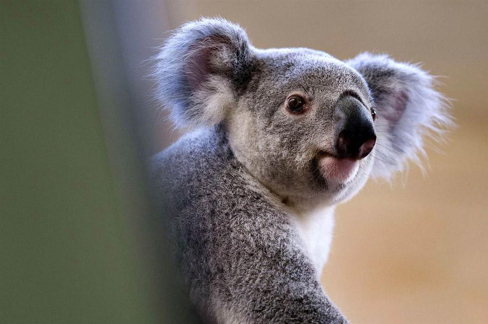Этого зверя величают древесным кенгуру Гудфеллоу