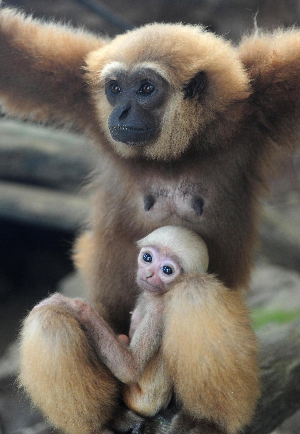 Семья гиббонов в зоопарке в Джакарте, Индонезия