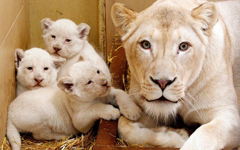 Белые львы в зоопарке в Польше