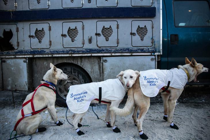 Перед стартом. «Собачья» команда одного из каюров — погонщика собачьей упряжки