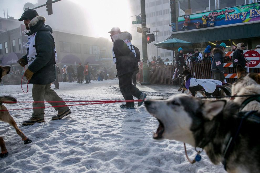 Некоторые псы изнемогают от нетерпения на старте гонки