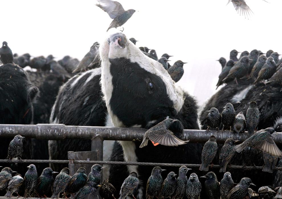 Скворцы в поисках пищи и тепла залетели к коровам в загон, штат Небраска