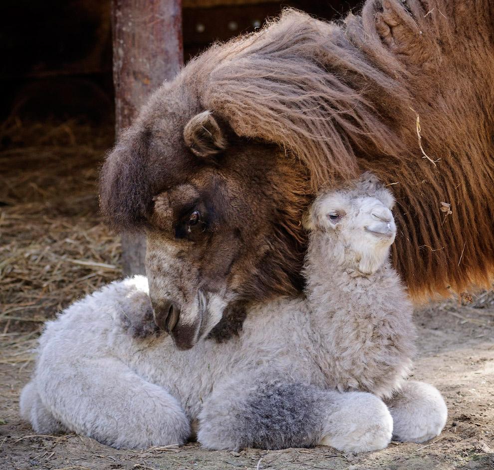 Новорожденный верблюжонок с мамой в зоопарке в Дебрецене, Венгрия