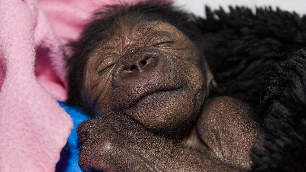 Маленькая горилла в зоопарке Сан-Диего, Калифорния