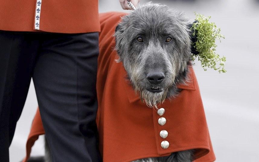 Ирландский волкодав при полном параде