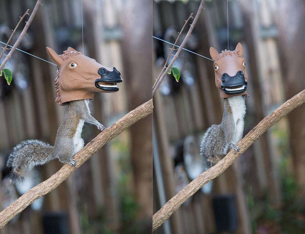 Фотограф Jim Zielinski из Флориды запечатлел забавный момент, когда белка в поисках вкусненького засунула свою морду в птичью кормушку в виде лошадиной головы