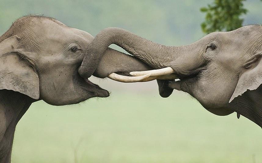 Слоновья дружба. Национальный парк Индии