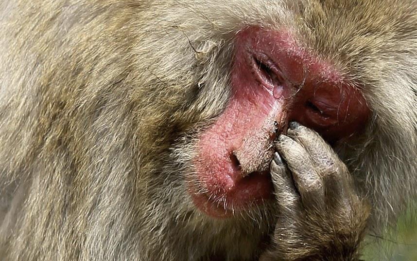На самом деле, многие макаки, как и люди страдают от сезонного ринита