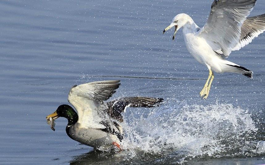Чайка пытается отобрать обед у кряквы на озере в Южной Корее