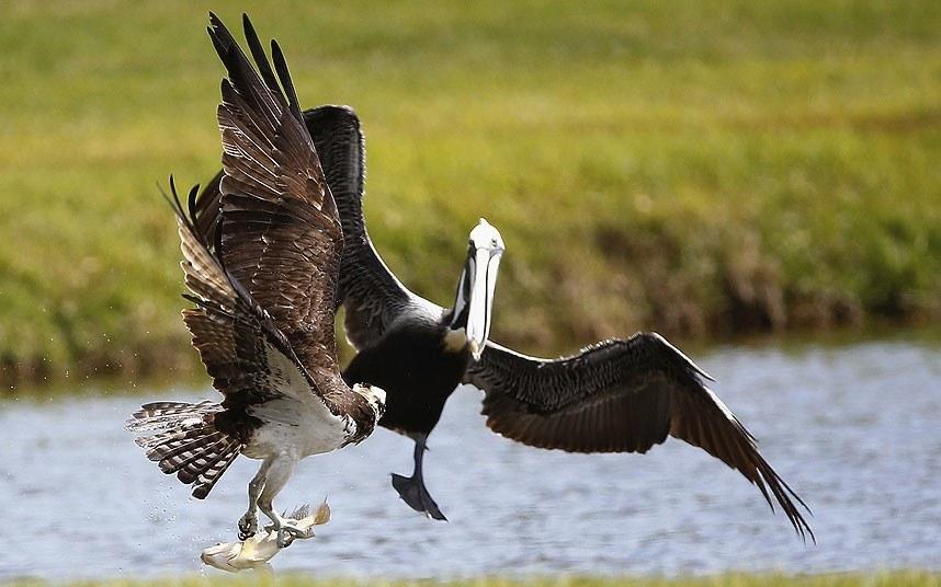 А это стычка за обед между пеликаном и хищной скопой