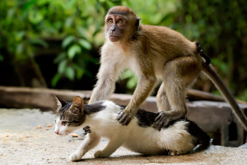 Необычная дружба. Кот и макака, Индонезия