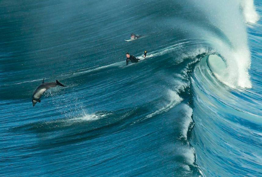 Дельфин и серферы на Черном пляже в Сан-Диего, США