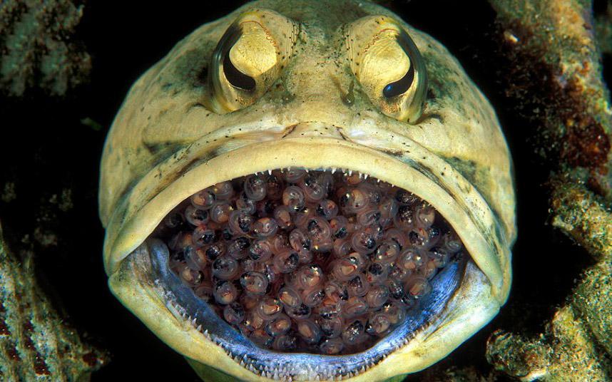 Самец большерота высиживает 400 яиц около острова Корон, Филиппины
