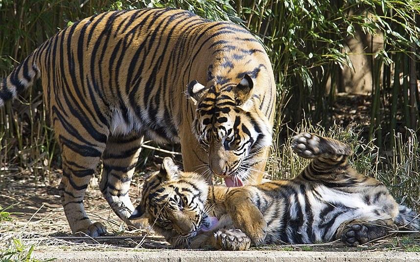 Любовные тигриные игры