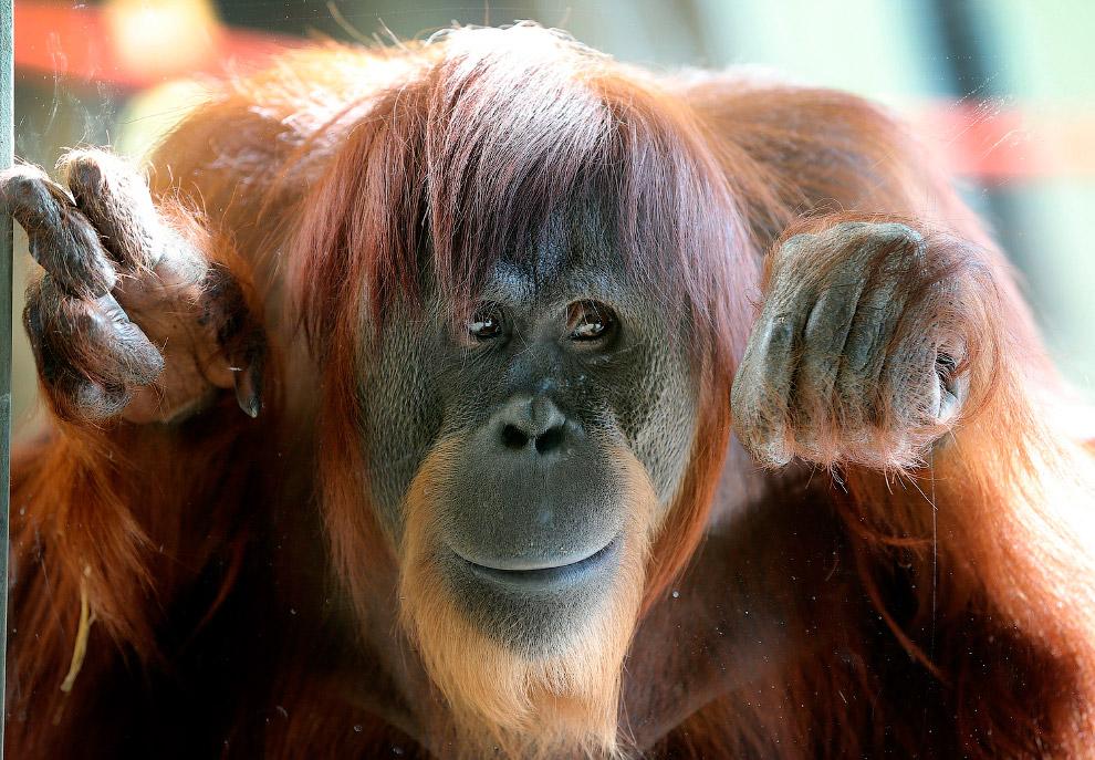 Знакомьтесь, орангутанг Кэти из зоопарка в Индианаполисе