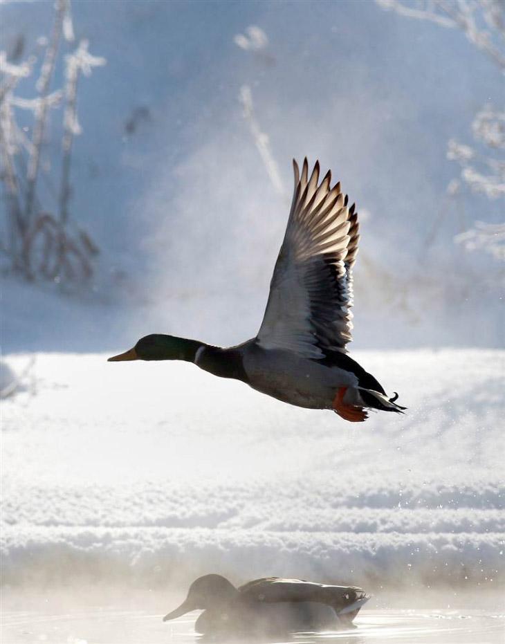 Полет утки над водоемом на окраине Минска, Беларусь