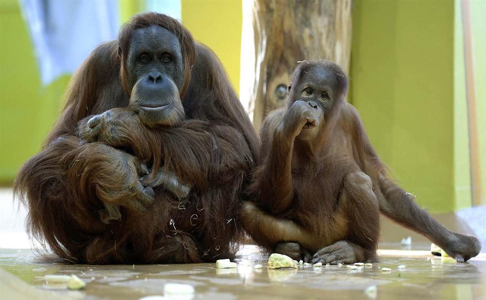 Семья орангутангов в зоопарке в Мюнхене, Германия