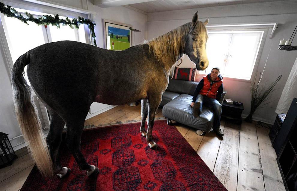 Арабская лошадь Назар на ферме в Германии