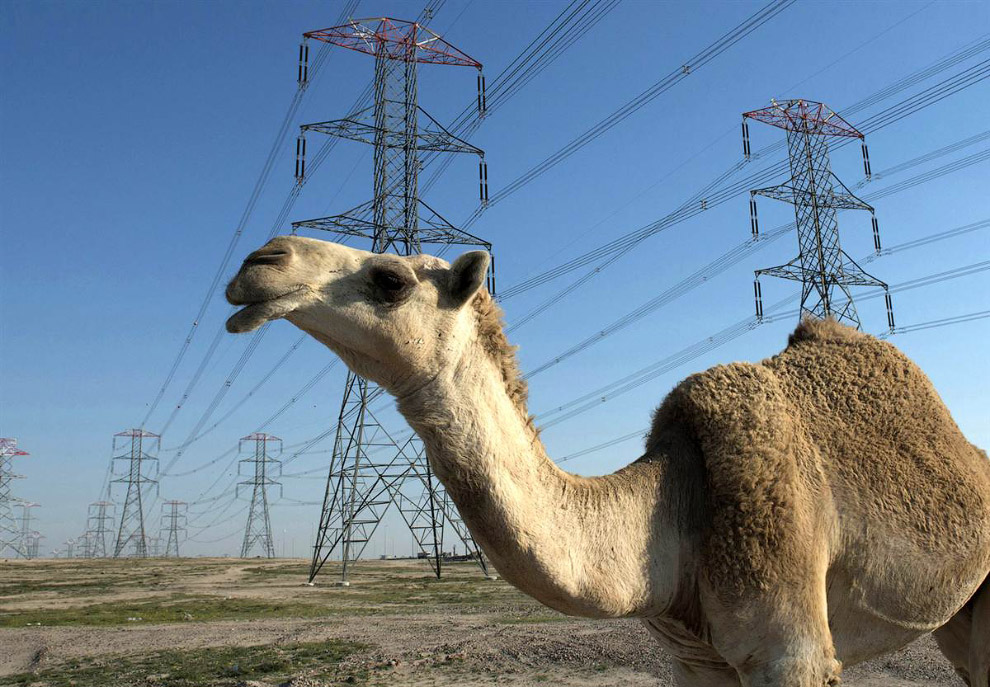 Верблюд среди ЛЭП в кувейтской пустыне