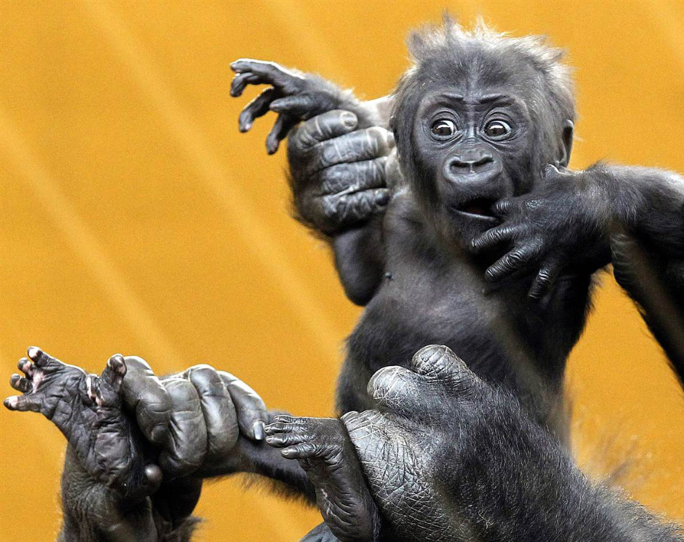 Новорожденный детеныш гориллы в парке в Кантабрии, Испания