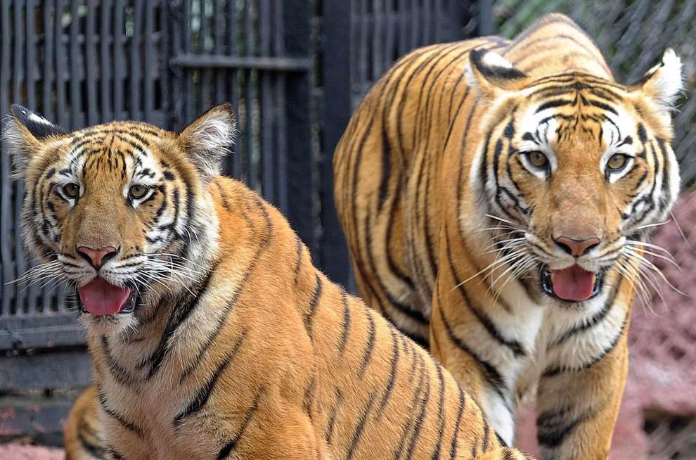 9-месячный тигренок со своей мамой в зоопарке в Хайдарабаде, Индия