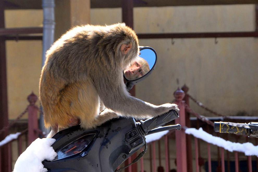 Обезьяна играет с зеркалом на скутере в Шимле, Индия