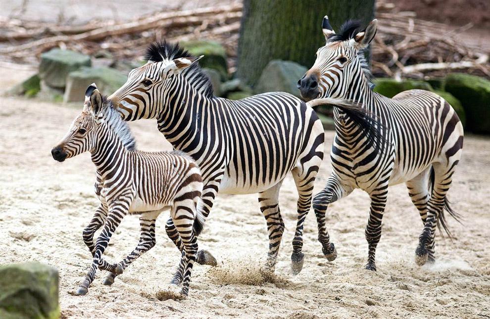 Семья зебр в зоопарке в Ганновере, Германия