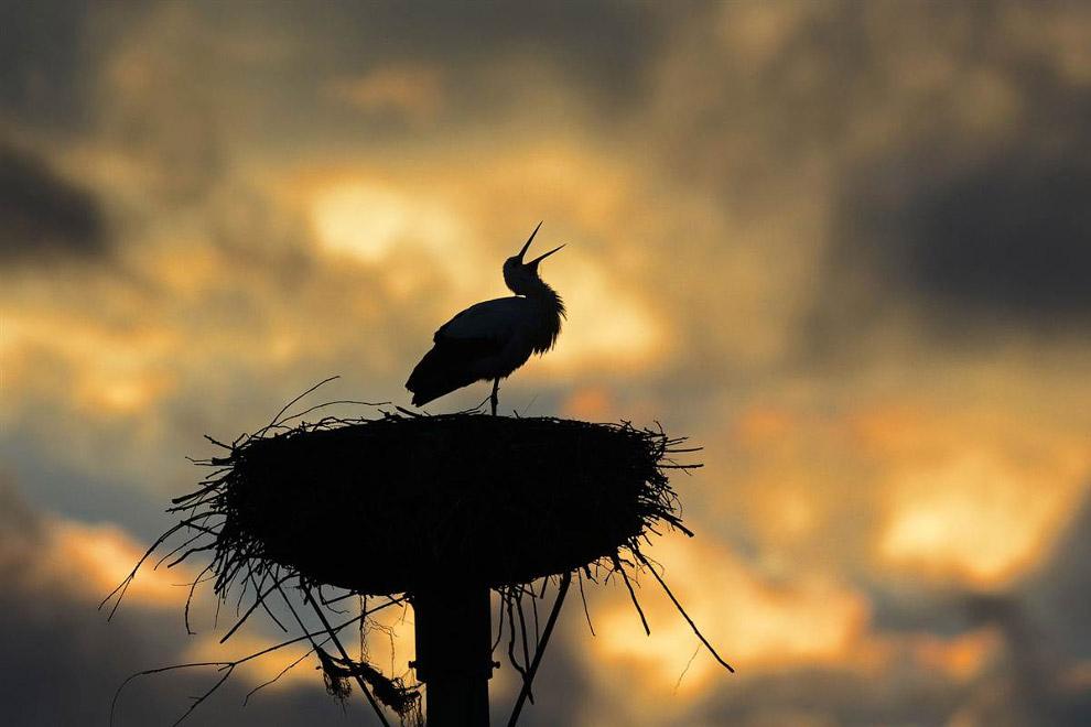 Гнездо аиста в Германии