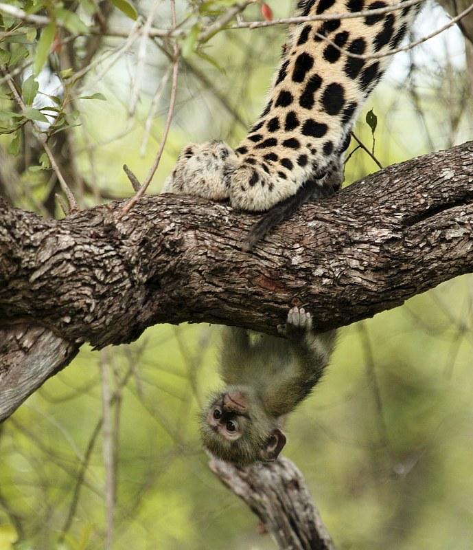 Фотограф снял невероятный кадр: обезьянка, пытающаяся остаться незамеченной, и грозный леопард, шагающий по дереву