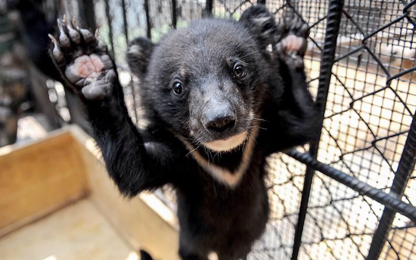 Это один из 20 черных медвежат, которых отобрали у контрабандистов