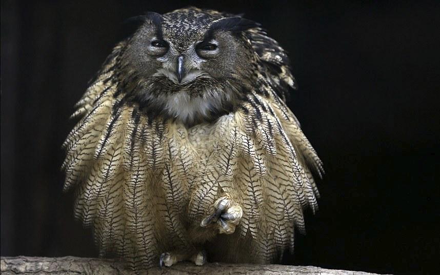 Хитрый филин из зоопарка в Эссене, Германия