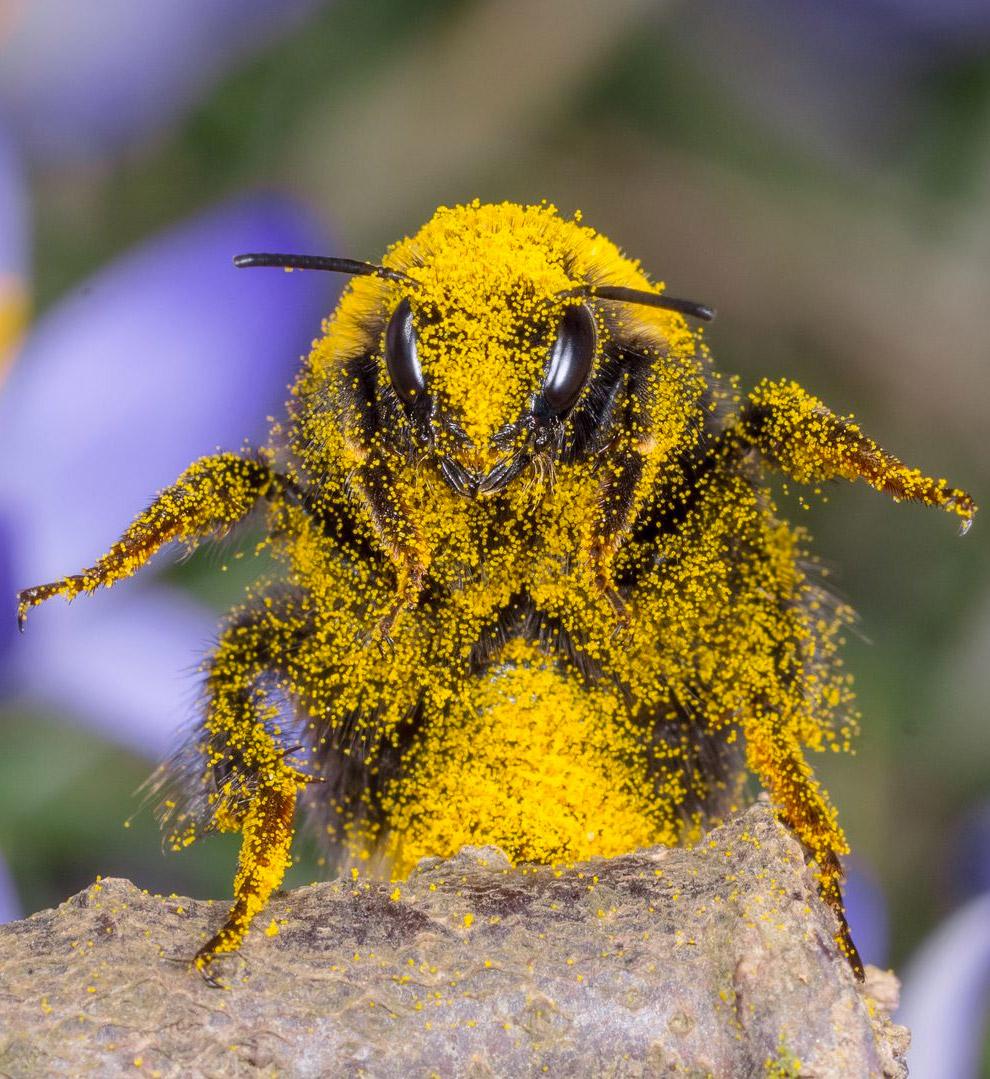 Пчела в пыльце после трудового дня