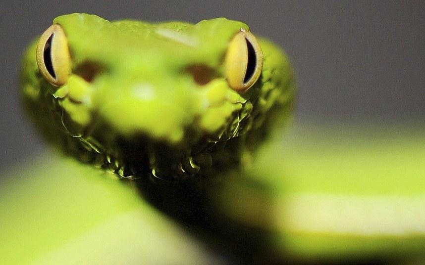 Азиатская копьеголовая змея или куфия