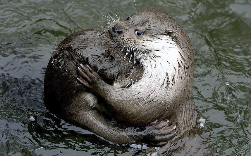 Выдры в пруду в Варшавском зоопарке, Польша