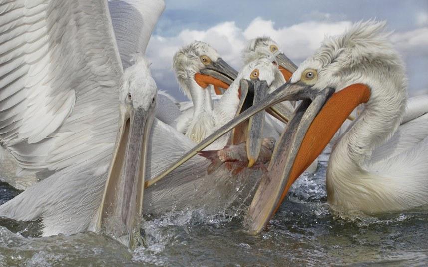 Куча-мала или обед у пеликанов