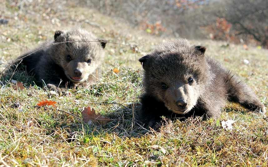 Два найденыша — шестинедельные медвежата из Приштины, Косово
