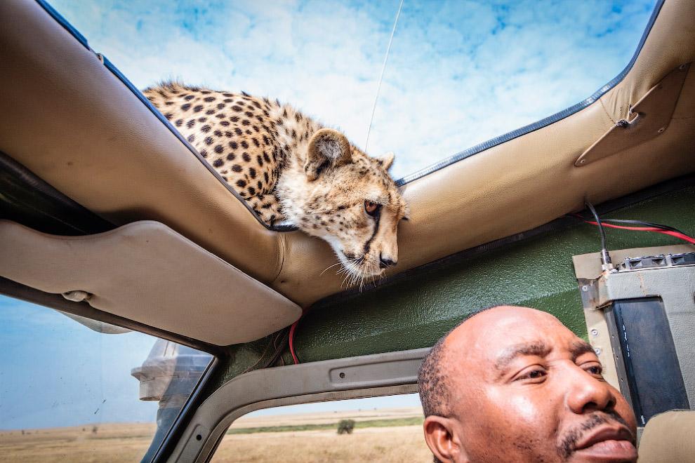 Лицом к лицу с гепардом
