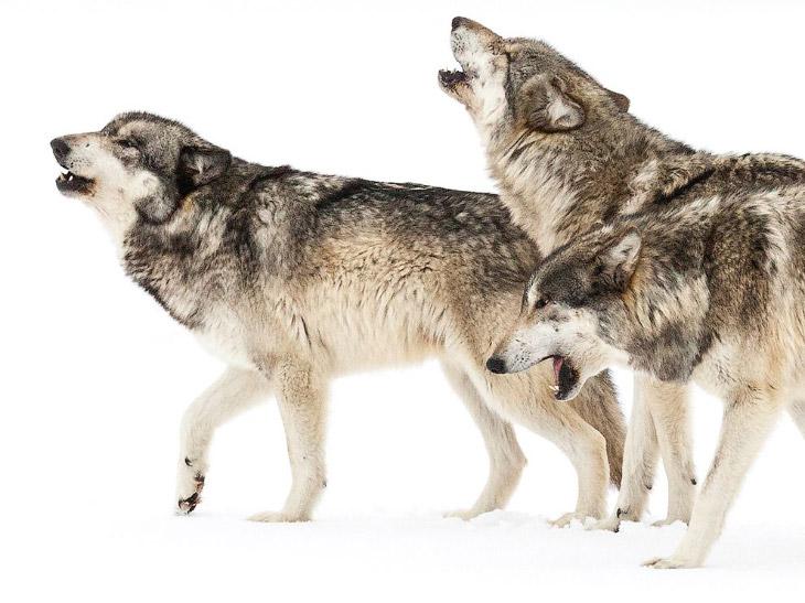 Плачущие волки