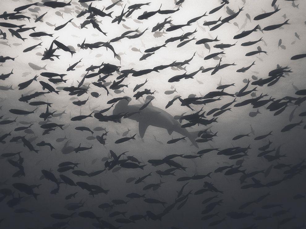 Одинокая акула