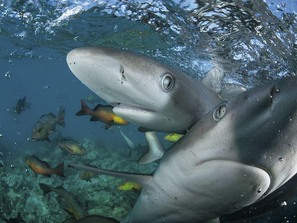 Галапагосские акулы