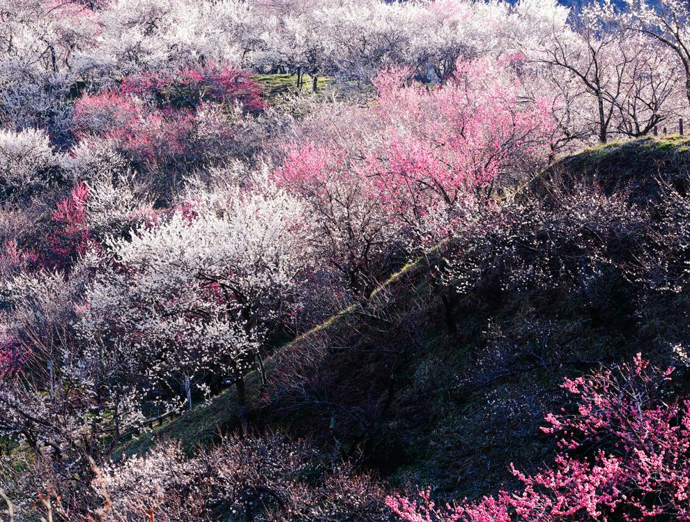 Цветущие вишни в Японии